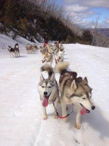 Sled Dog Tours Mt Buller